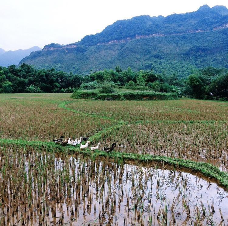 Rice fields in Mai Chau Valley