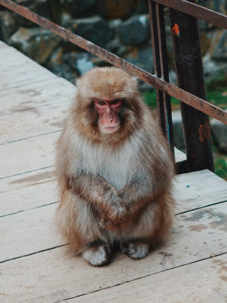 Monkey at Jigokudani Monkey Park